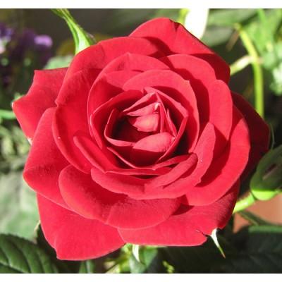 Τριαντάφυλλο 5% διάλυμα σε τζοτζόμπα Αιθέριο Έλαιο