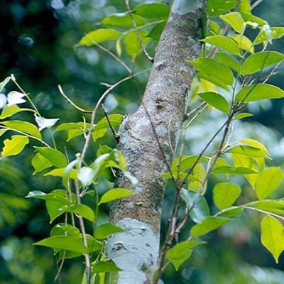 Σανδαλόξυλο (Αυστραλίας) 5% διάλυμα σε τζοτζόμπα Αιθέριο Έλαιο