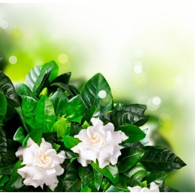 Gardenia Αρωματικό Έλαιο