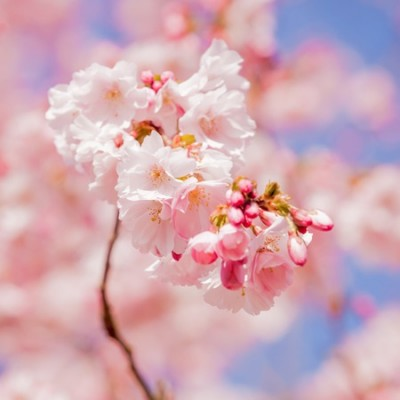 Cherry Blossom Αρωματικό Έλαιο