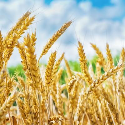AminoSoft Wheat Protein