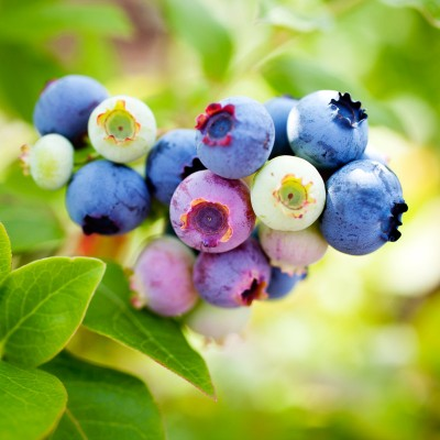 Honeysuckle & Blueberry Αρωματικό Έλαιο