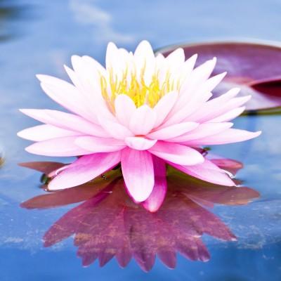 Lotus and Litchi Flower Αρωματικό Έλαιο