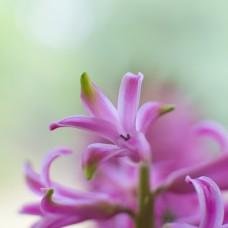 Hyacinth -Υάκινθος Αρωματικό έλαιο 50ml