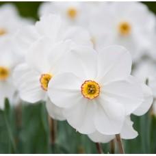 Narcissus Αρωματικό Έλαιο 50ml