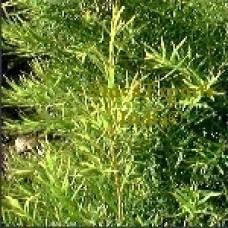 Τεϊόδεντρο Αιθέριο Έλαιο 10ml